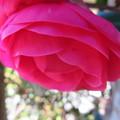 Photos: 椿の花