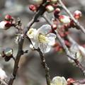 Photos: 小梅の花満開です