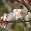 Photos: 淡いピンク色の梅の花