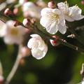 Photos: 梅の花の良い香り