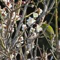 Photos: 梅の花にメジロ