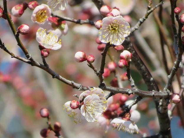 薄紅の梅の花につぼみがたくさん・・