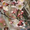 Photos: 薄紅の梅の花につぼみがたくさん・・