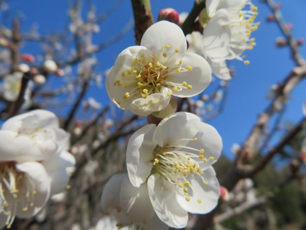 白梅の花満開