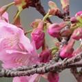 Photos: 河津桜咲き始めました