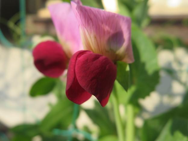 赤花エンドウ豆