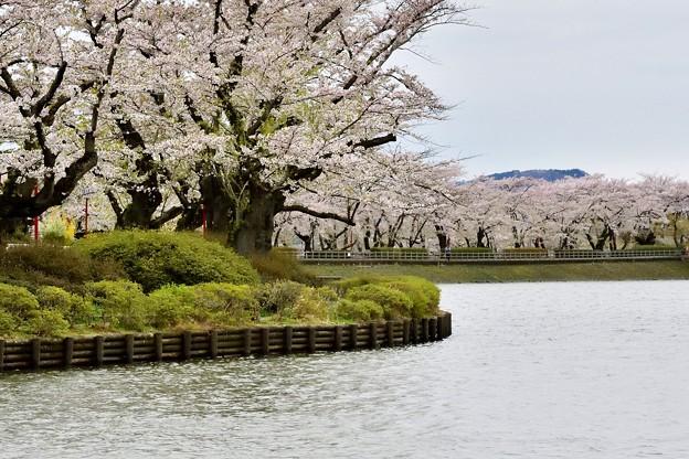 高松の池の桜まつり 180425 (4)