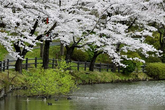 高松の池の桜まつり 180425 (7)