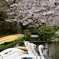 高松の池の桜まつり 180425 (10)