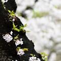 高松の池の桜まつり 180425 (11)