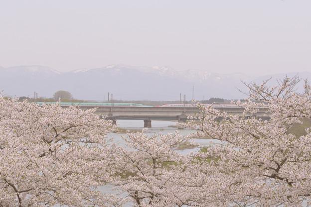 2018年の北上展勝地の桜