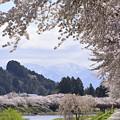 Photos: 角館の桜(ひのきないがわつづり)