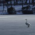 高松の池の白鳥201222_0017