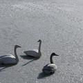 高松の池の白鳥201222_0018