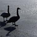 高松の池の白鳥201222_0012
