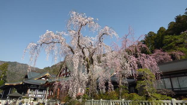 身延山久遠寺しだれ桜