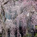 Photos: 身延山久遠寺しだれ桜