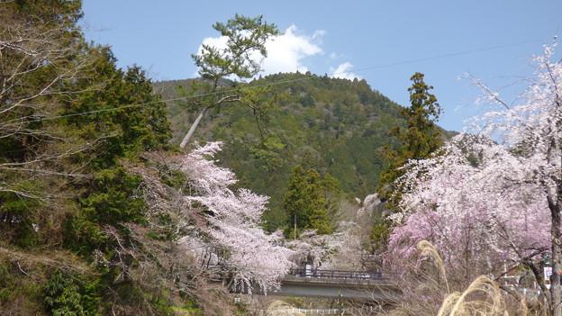 身延山西谷地区の桜
