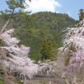 Photos: 身延山西谷地区の桜