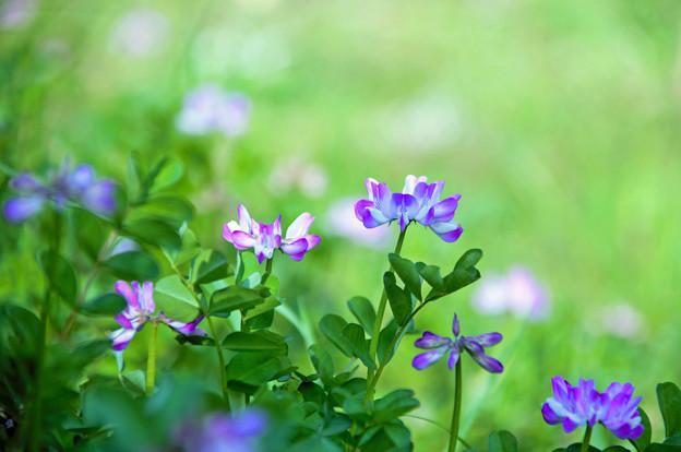 写真: レンゲ咲く畦道