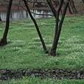 雨の日のニリンソウ