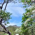写真: シロヤシオ咲く那須高原