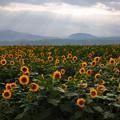 写真: 夕方のひまわり畑