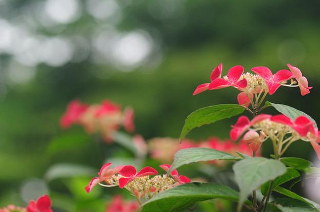写真: 赤いアジサイ