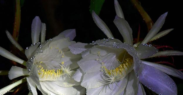 雨の中に咲く
