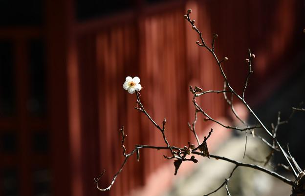 写真: 天満宮の梅