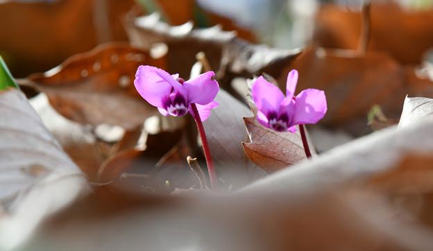 写真: 枯れ葉の中から