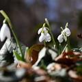 写真: 待雪草