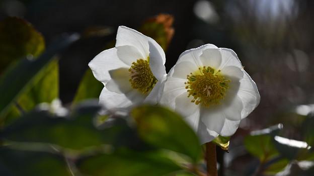 写真: 白さがかわいい