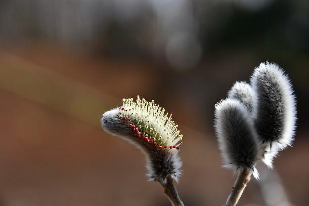 写真: 花粉をつけたネコヤナギ