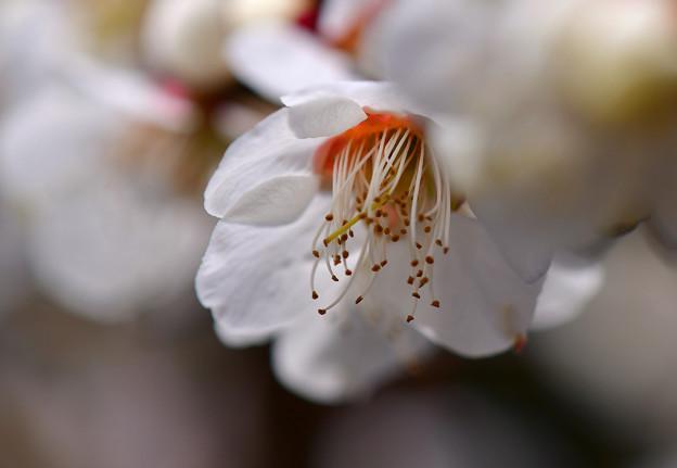 写真: 白い梅