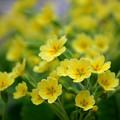 写真: 黄色フィーバー