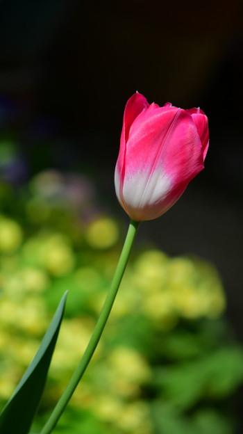 写真: 咲いた~咲いた~チューリップの花が~~
