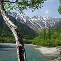 写真: 白樺と穂高岳