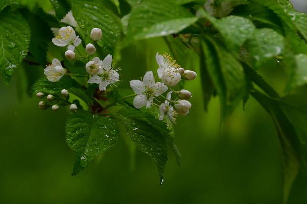 写真: 雨です~~ミヤマザクラ