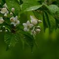 Photos: 雨です~~ミヤマザクラ
