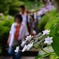 写真: 白いアジサイ