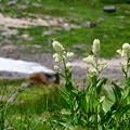 写真: 小さな花が穂のようにつく