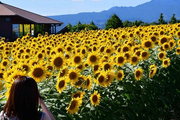 Photos: ひまわり畑~~♪
