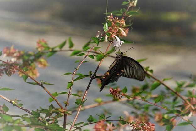 写真: 黒いアゲハ