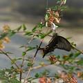 Photos: 黒いアゲハ