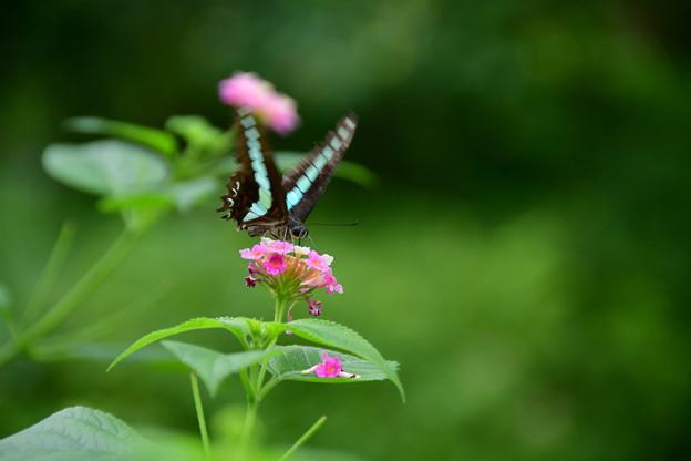 Photos: 黒い翅に青いスジ