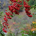 写真: 秋の実・たわわ