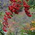 Photos: 秋の実・たわわ