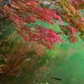 写真: 鯉の泳ぐ池に~~~