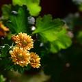 写真: 咲き始めたオレンジ